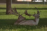2 stags, laying
